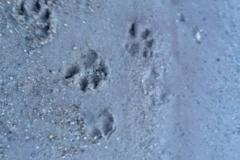 Hundetapser